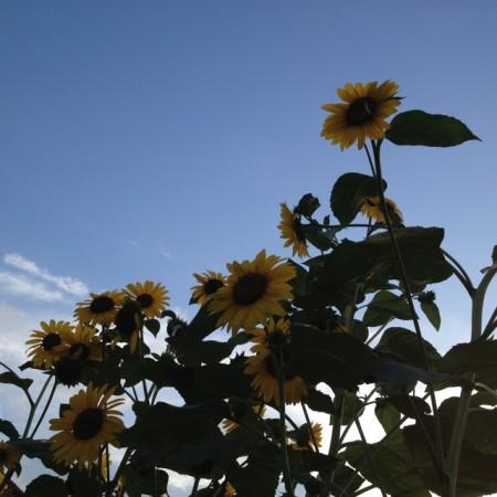 多分太陽の方向をむいているひまわりたち。