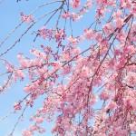 春が待ち遠しいから桜色をながめてる