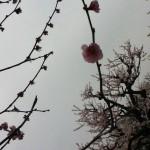 物語の中の桜のはな